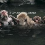 Bain-macaques du Japon