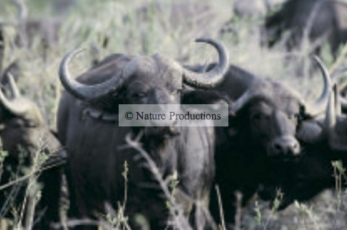 Buffles, Ngorongoro