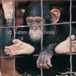 chimpanze en cage