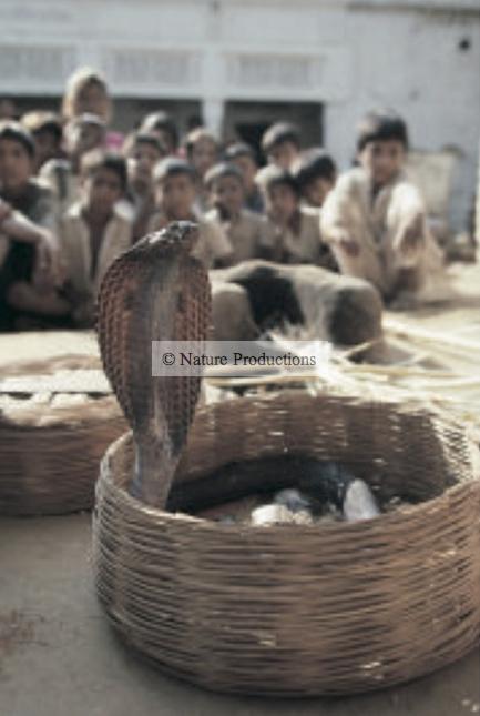 cobra dans panier