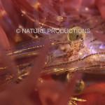 Crevette-prisonniere-anemone