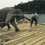 elephant-enchaine