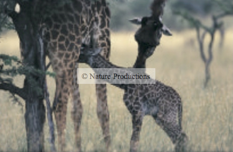 Girafe et bébé Kenya