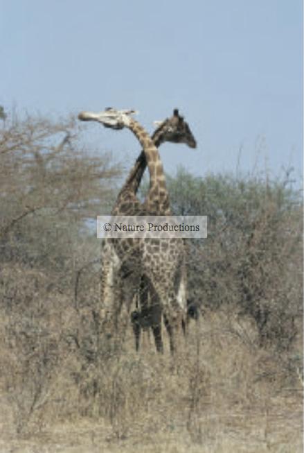 girafes, Kenya