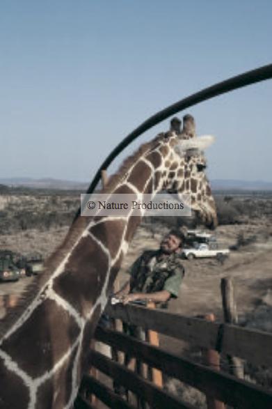 girafe dans camion Kenya