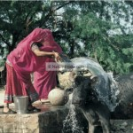 Bishnoï et vache