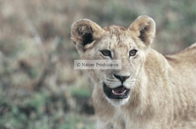 Jeune, lion