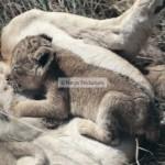Lionceau qui tète