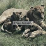 Lionne, lionceaux