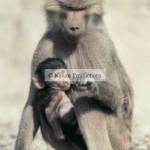 Macaque, Japon, bébé