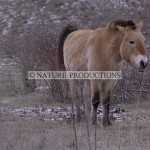 Przewalskis, cheval