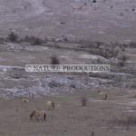 Przewalskis, chevaux
