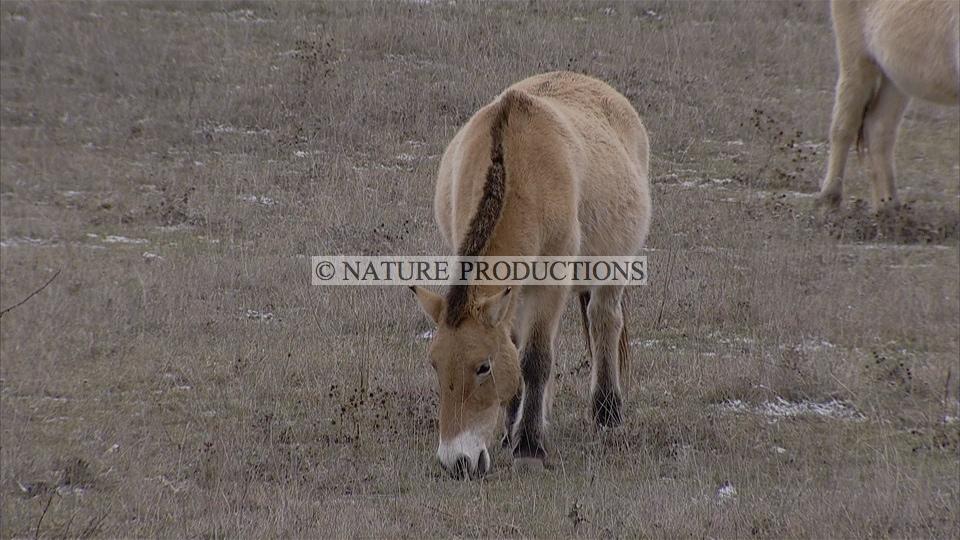 Przewalski, cheval