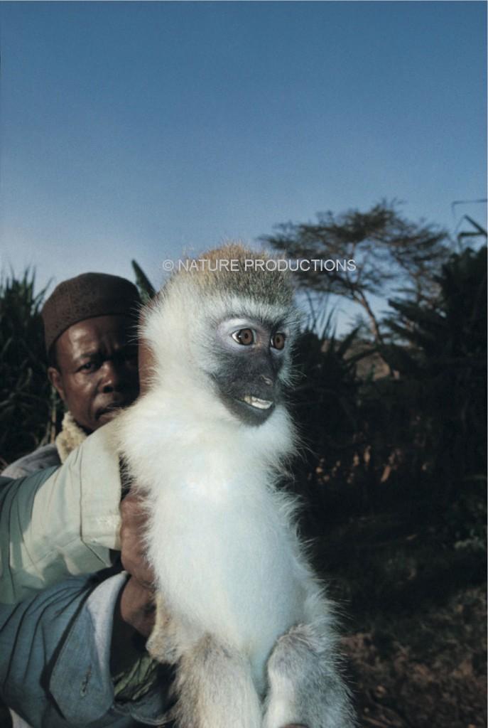 homme capture singe vervet
