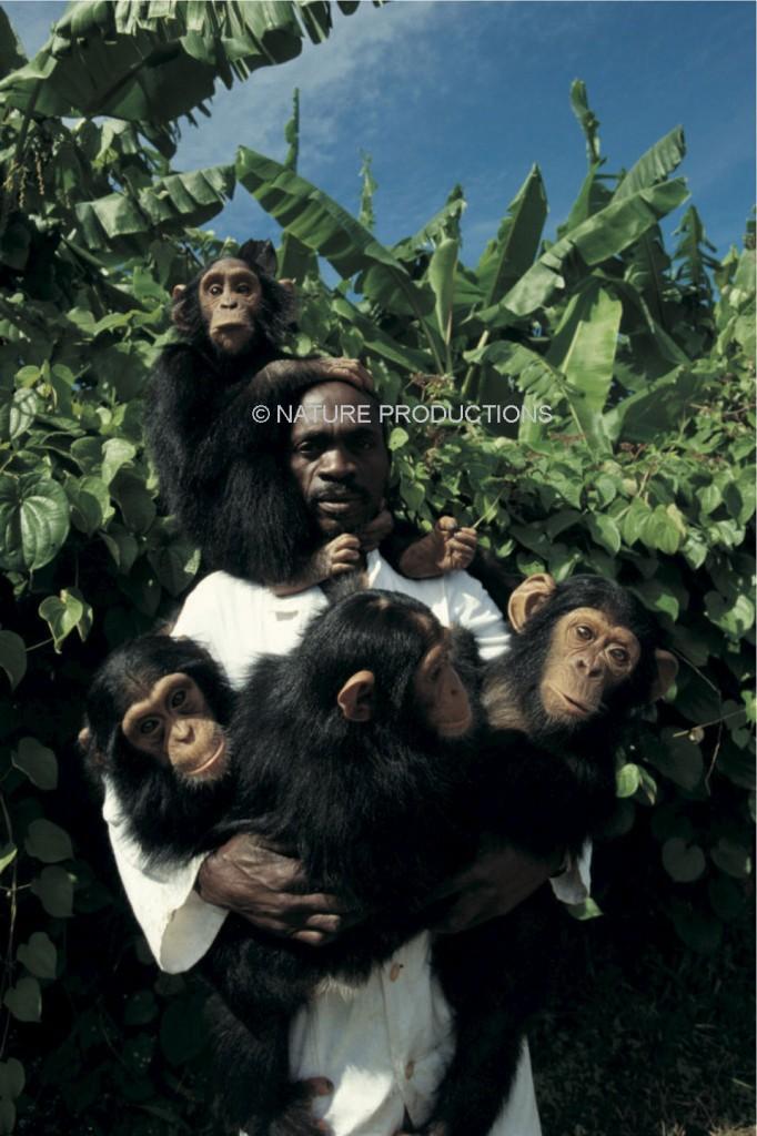 chimpanzés Zambie