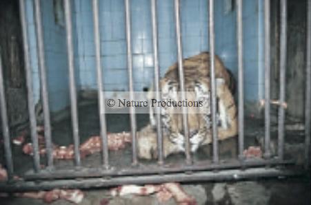 tigre-en-cage