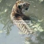 tigre, eau