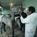 veterinaire-cheval-Louxor