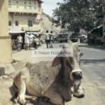 vache-couchee-dans-la-rue-New Delhi
