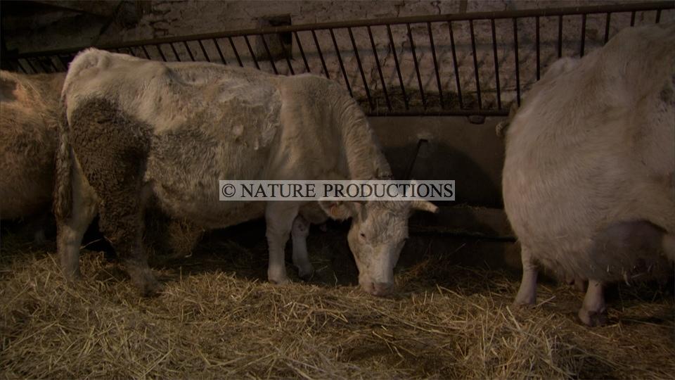 vaches-dans-etable