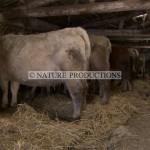 vaches-dans-etable1