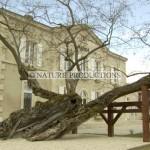 Vieil-arbre