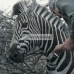 homme-piqure-zebre