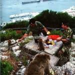 singes Gibraltar