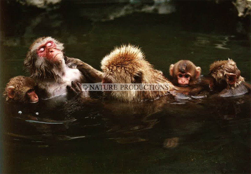 macaques-Japon