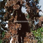papillons-monarque