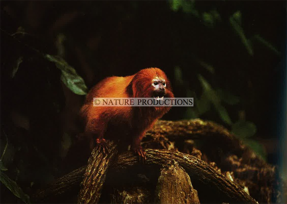 petit-singe-lion