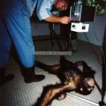 soin-chimpanzé
