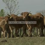 Troupeau-vaches Marais poitevin