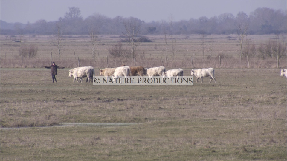 Vaches- marais poitevin