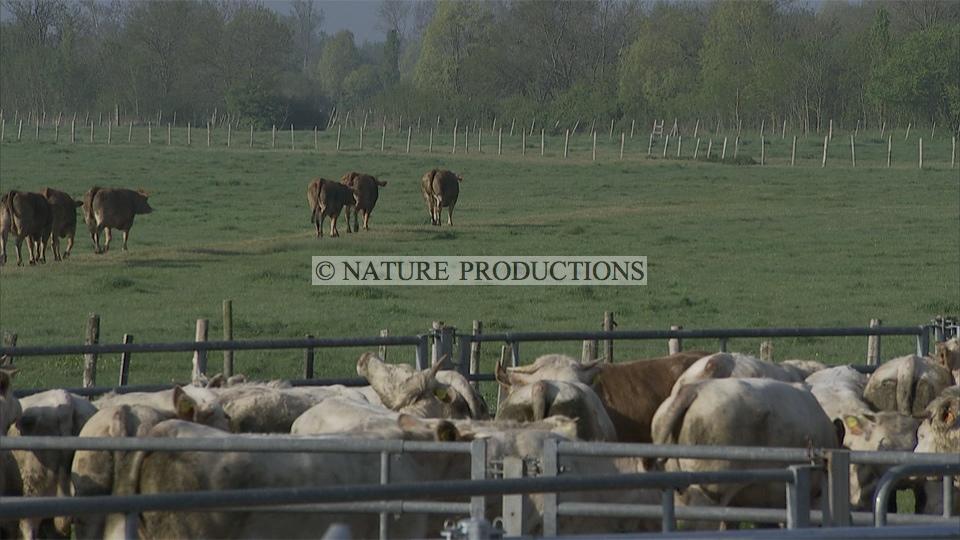 Troupeau-vaches-traitement anti-parasitaire
