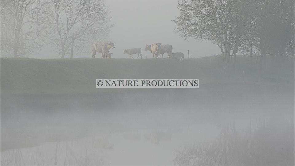 Vaches-brume marais poitevin