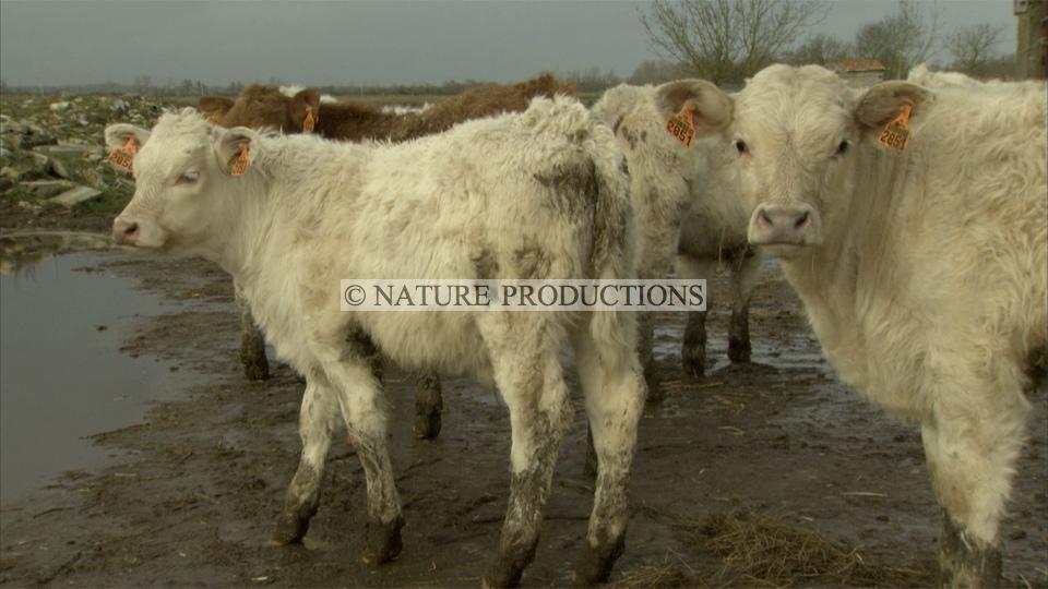 Vaches-Marais-poitevin